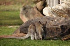 Серый кенгуру Gaint Стоковые Изображения