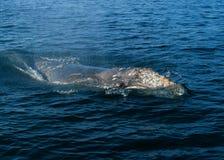 Серый кит, канал Санта-Барбара, Тихий океан Стоковое Изображение RF