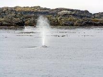 Серый кит Spouting на побережье Стоковое фото RF