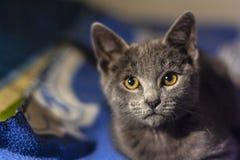 Серый конец кота вверх по взгляду стоковые изображения rf