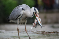 Серый конец цапли вверх еды рыбы Стоковое Изображение