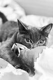 Серый котенок готовый для того чтобы атаковать черно-белое Стоковая Фотография RF