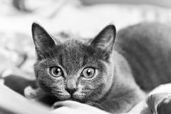 Серый котенок готовый для того чтобы атаковать черно-белое Стоковое Изображение