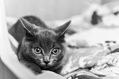 Серый котенок готовый для того чтобы атаковать черно-белое Стоковые Фотографии RF