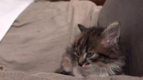 Серый котенок закрывает глаза и падает уснувший видеоматериал