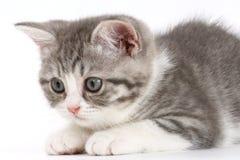 Серый котенок на белой предпосылке получая готовый поскакать Стоковые Фотографии RF