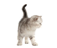 серый котенок немногая Стоковое Фото