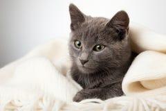 Серый котенок обернутый в одеяле, закоптелый кот в одеяле на сером цвете Стоковые Фото