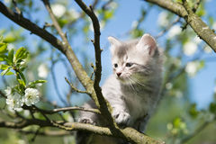 Серый котенок сидя на ветви Дерево небо предпосылки голубое Стоковое Фото