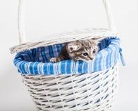 Серый котенок смотря вне от корзины на белизне Стоковая Фотография
