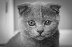 Серый котенок створки Scottish смотря на вперед стоковая фотография rf