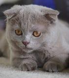 Серый котенок створки Scottish смотря налево стоковое изображение