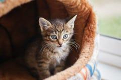 Серый котенок с голубыми глазами Стоковое фото RF