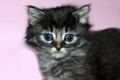 серый котенок Стоковая Фотография