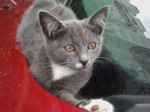 серый котенок Стоковые Изображения RF