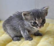 Серый котенок newborn Стоковое Изображение RF