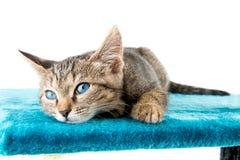 Серый котенок tabby лежа на поверхности голубого плюша мягкой стоковое изображение rf