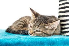 Серый котенок tabby лежа на поверхности голубого плюша мягкой стоковые фотографии rf