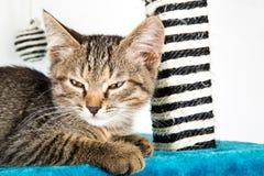 Серый котенок tabby с коричневым цветом наблюдает лежать на surfa голубого плюша мягком стоковые фото