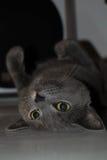 Серый кот вверх ногами Стоковые Изображения