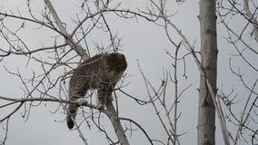 Серый кот взобрался вверх на сухом дереве акции видеоматериалы
