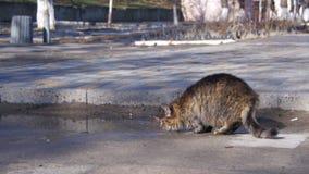 Серый кот выпивает воду от лужиц на улице в предыдущей весне видеоматериал