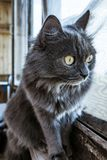 Серый кот дома смотря вне окно стоковые фотографии rf