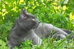 Серый кот лежа на зеленой траве Стоковые Изображения RF