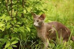 Серый кот идя в лето сада Outdoors Стоковые Фотографии RF