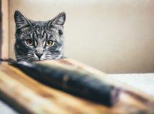 Серый кот и большая рыба на таблице Стоковые Фотографии RF