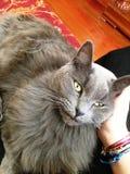 серый кот и предприниматель очень счастливы быть заштрихованным Стоковое Фото