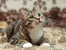 Серый кот нашивки лежа на ковре Стоковые Изображения RF