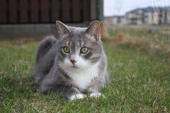 Серый кот на траве Стоковые Изображения