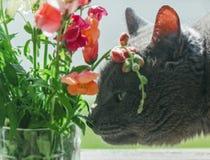 Серый кот обнюхивает цветки лета Стоковое Изображение