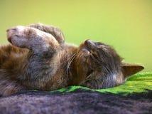 Серый кот дома уснувший Стоковая Фотография RF