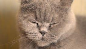 Серый кот поворачивает его голову видеоматериал