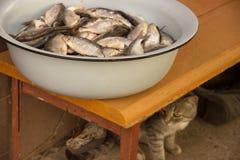 Серый кот подготавливая крадет штоссель рыб от зацеплять ` s рыболова в тазе или рынок Бездомный кот улицы Забота для гунна Стоковая Фотография RF