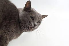 Серый кот показывает агрессивные клыки на белой предпосылке стоковая фотография