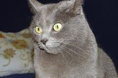 Серый кот подробно Стоковое фото RF