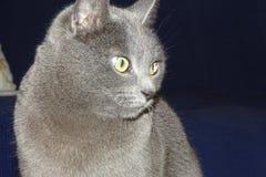 Серый кот подробно Стоковое Изображение