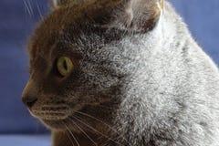 Серый кот подробно Стоковые Фото