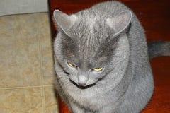 Серый кот подробно Стоковая Фотография RF