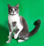 Серый кот при белые пятна сидя на зеленом цвете Стоковые Изображения