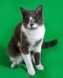 Серый кот при белые пятна сидя на зеленом цвете Стоковые Изображения RF