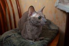 Серый кот сидя и смотря камера Стоковые Изображения