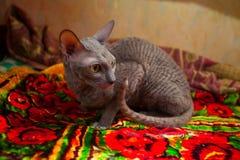 Серый кот сидя и смотря камера Стоковые Фото