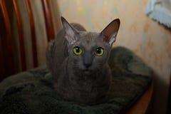 Серый кот сидя и смотря камера Стоковое Фото