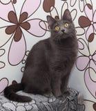 Серый кот сидя на красочном Стоковое Фото