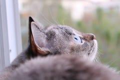 Серый кот смотрит цель, птиц охот Стоковое Изображение