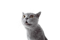 Серый кот смотря камеру белизна изолированная предпосылкой Стоковое Изображение RF
